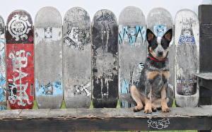 Фото Собаки Австралийская пастушья Доски