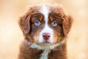 Картинка Собаки Австралийская овчарка Щенок