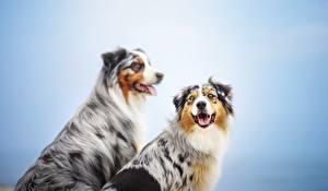 Картинки Собаки Австралийская овчарка Вдвоем