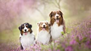 Картинка Собаки Австралийская овчарка Втроем