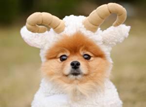 Фотография Собаки Шпицев Смотрят Рога животное