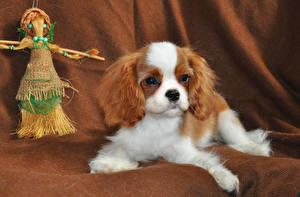 Картинки Собаки Щенок Кинг чарльз спаниель Животные