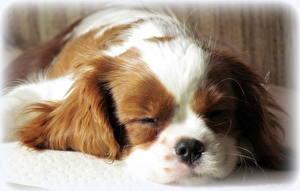 Фотография Собаки Спят Кинг чарльз спаниель Животные