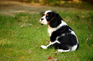 Фото Собака Щенки Трава Кинг чарльз спаниель животное
