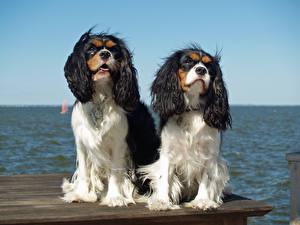 Обои Собаки 2 Кинг чарльз спаниель Животные