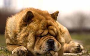 Картинки Чау Чау Собаки Спящий Рыжие животное