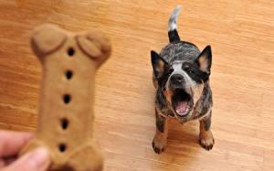Фото Собаки Злость Щенок Австралийская пастушья