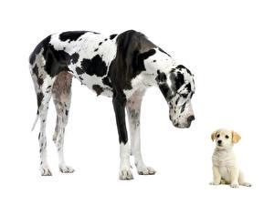 Обои Собака Немецкий дог Ретривера Щенков 2 Животные