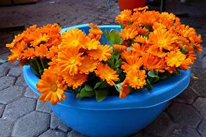 Фотографии Календула Крупным планом Оранжевый