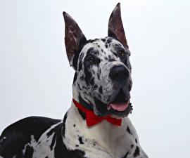 Картинка Собака Немецкий дог Смотрят Животные
