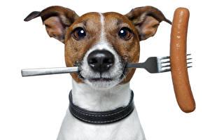Фотографии Собака Сосиска Вилка столовая Джек-рассел-терьер Морды Взгляд Животные