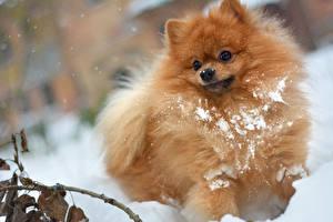 Фотография Собака Шпица Снегу Смотрит Рыжий Животные