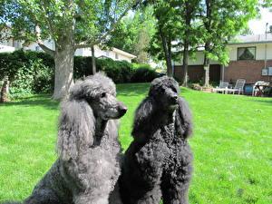 Фотография Собаки Пудель Двое Трава Черный Деревья