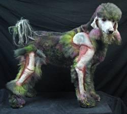 Картинки Собаки Пудель grooming Животные