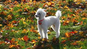 Картинки Собаки Осень Пудель Листья Белый