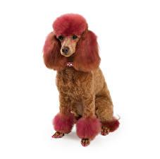 Обои Собаки Пудель Рыжий