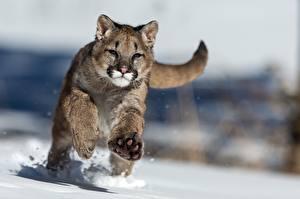 Фотографии Большие кошки Пумы Снег Бег Животные