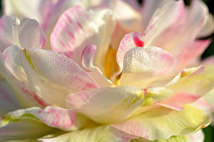 Картинки Вблизи Магнолия Лепестки Цветы