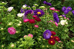 Картинки Астры Много Цветы
