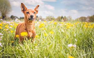 Картинка Собака Одуванчики Небо Луга Пинчер Траве Животные