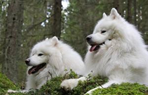 Картинки Собаки Двое Белых Самоедская собака животное