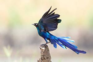 Фотография Птицы Синие Крылья Животные