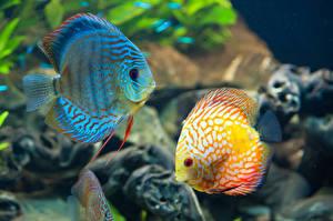 Обои Подводный мир Рыбы Вдвоем животное