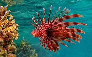 Фотография Рыбы Кораллы Подводный мир Красный Крылатка