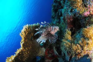 Картинки Рыба Кораллы Подводный мир Крылатка