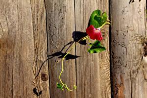 Картинки Вьюнки Крупным планом Забора Доски цветок
