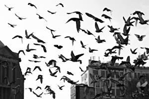 Обои Вороны Много Полет Животные фото