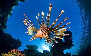Фотография Рыбы Подводный мир Вода Крылатка Животные