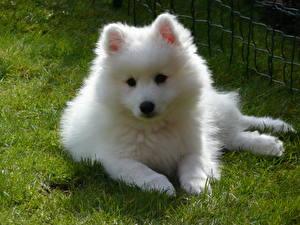Фотография Собаки Шпица Белых Смотрят Самоедская собака животное