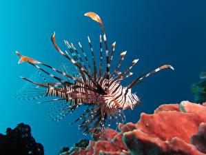 Фотография Рыбы Подводный мир Кораллы Крылатки