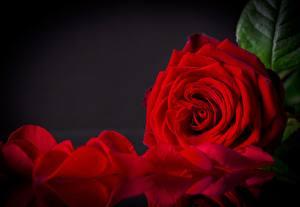Фото Розы Крупным планом Красный Лепестки Цветы