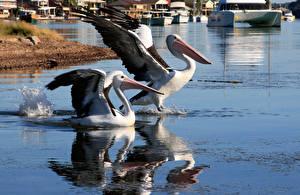 Фото Пеликаны Вода Птица Крылья Две Животные