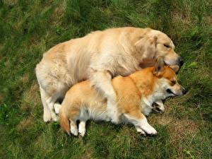 Фотография Собака Вельш-корги Ретривер Спящий Два Трава животное