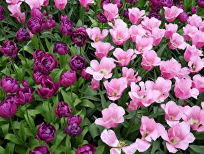 Картинки Тюльпаны Много Розовых Фиолетовых Цветы