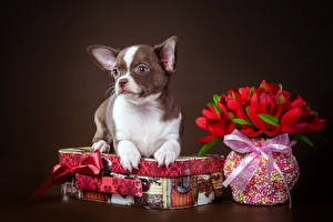 Фото Собаки Тюльпан Чихуахуа Вазе Коробки Животные