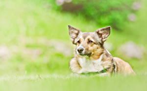 Фото Собаки Вельш-корги Трава Животные
