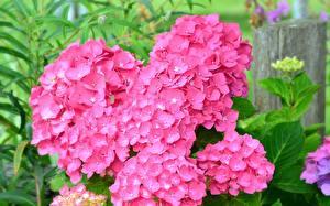 Фотографии Гортензия Вблизи Розовая Цветы