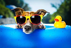 Обои Собака Утки Джек-рассел-терьер Очки Смешной животное