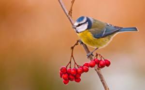 Фотографии Птицы Ягоды Рябина Ветки Cyanistes Животные