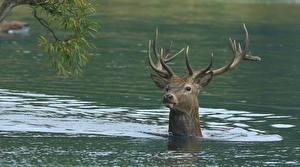 Фотографии Олени Вода Рога Голова Плывет животное