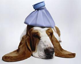 Фото Собака Бассет хаунд Спящий Животные