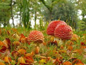 Картинка Осенние Крупным планом Листья Трава Природа