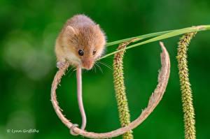 Фотография Грызуны Вблизи Мыши Хвост