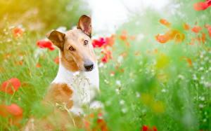Картинка Маки Собака Смотрят Basenji Животные