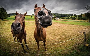 Фотография Лошади Поля Морда Двое Животные