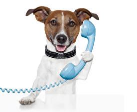 Обои Собака Джек-рассел-терьер Телефона Смешные Животные